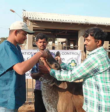 Cattle Development Programme